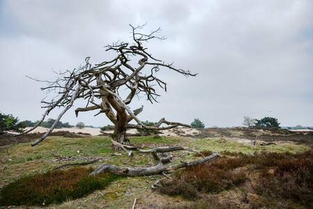 heathland: old special shaped dramatic dead tree in a sand-like nature, Drenthe