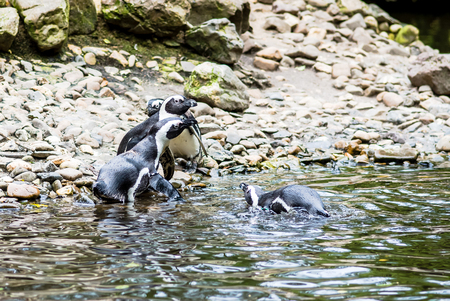 profesional: Several Magellanic Penguin (Spheniscus Magellanicus) at the beach. waiting for a penguin that comes out of the water with fish