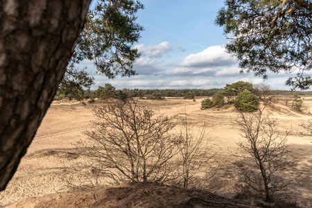 Pine trees and sand dunes in the desert at Kootwijk in the Netherlands