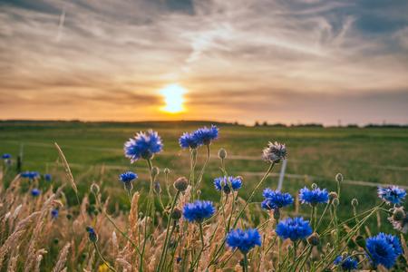 Schöne blaue Sommerblumen mit Blick auf die flache Landschaft von Holland. Die letzten Strahlen der Sonne geben dem Bild eine angenehme Atmosphäre eines romantischen Sommerabends Standard-Bild
