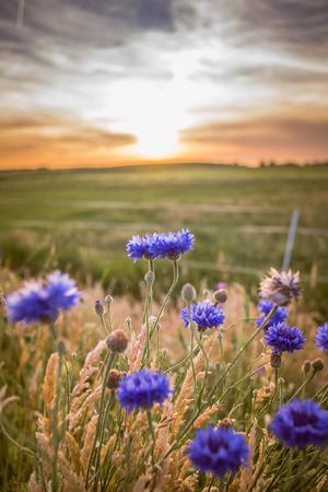 Beaux fleurs bleues d'été avec vue sur le paysage plat de la Hollande. Les derniers rayons du soleil donnent à l'image une atmosphère chaleureuse et agréable d'une soirée d'été romantique Banque d'images