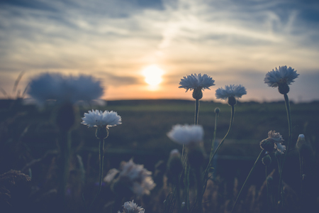 White field flowers or cornflowers between the high grass of the roadside. An atmospheric scene with evening light during a summer evening Stock fotó