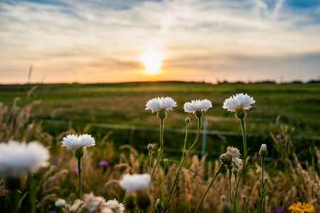 White field flowers or cornflowers between the high grass of the roadside. An atmospheric scene with evening light during a summer evening Stock Photo