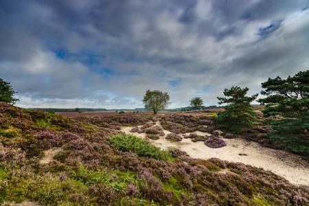 Paars bloeiende heide en struiken op de Renderklippen bij Epe, Heerde op de Nederlandse Veluwe. Het einde van de zomer en de ingang van de herfst. Stockfoto