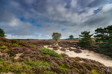 Purple flowering heaths and bushes on the Renderklippen near Epe, Heerde on the Dutch Veluwe. The end of summer and the entrance of autumn. Stock Photo - 85726579