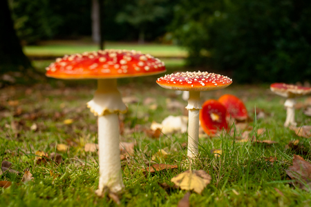 A group of red and white Fungus in the forest. Fly amanita, fly agaric. radiant in beautiful autumn sunlight with a number of crushed fungi Stock Photo