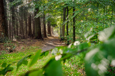 Unpaved forest road with sand, boulders and lush green leaves. The fall is slowly entering and the early morning fog of the autumn is still hanging between the trees. Stock Photo