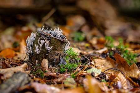 rape: Candle-snuff Fungus (Xylaria hypoxylon) growing on moss covered rattan wood in a forrest in the Netherlands Foto de archivo