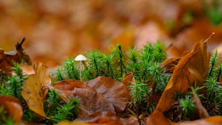 Macro photo of minuscule little mushroom surrounded by the green moss with autumn leaves. Beautiful autumn colors in a Dutch forest in the middle of the Dutch Veluwe. Stock Photo