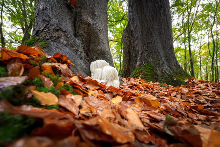 pom: The rare Edible Lions Mane Mushroom  Hericium Erinaceus  pruikzwam in the Forest. Beautifully radiant and striking with its white color between autumn leaves and the green moss Photographed on the Veluwe at the leuvenum forest in the Netherlands.