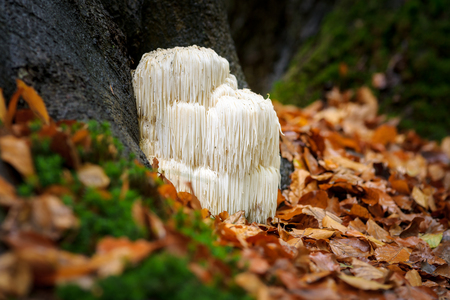 드문 먹을 수있는 사자의 갈기 버섯  Hericium Erinaceus  숲에있는 pruikzwam. 아름 답게 빛나는 및가 단풍과 녹색 이끼 사이 자사의 하얀 색상으로 눈에 띄는