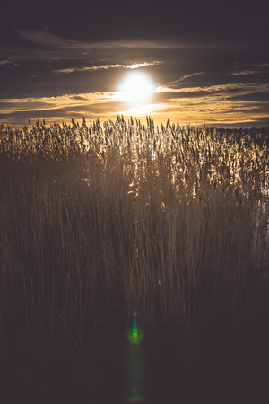 Silver grass or giant reed flowers in sunny day during a sunset in the Dutch polder