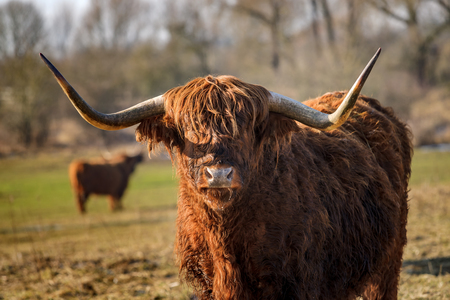 Highland cattle grazing in nature reserve at the flood plains in the Dutch delta rivers. Cows that are entered for nature management and grassland maintenance Stock Photo