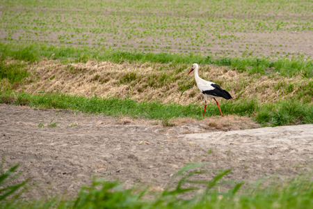 White stork (Ciconia ciconia) walking on a green meadow. Perky large bird with white and black colors steps through the grassland in search of food