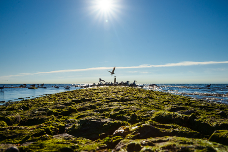 With green seaweed-covered pier on the North Sea beach. Sunny backlight photo with glowing summery contrasts and calm sea and looked out to the horizon