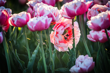In late April through early May, the tulip fields in the Netherlands colourfully burst into full bloom. Fortunately, there are hundreds of flower fields dotted throughout the Dutch countryside, which means that tulips are never very far away 免版税图像