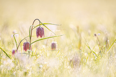 The fritillary is a plant from the lily family. The flower has purple checkered petals. The plant has a delicate stem with narrow leaves, which dies a few months after flowering. It takes the plants eight years to get into flower.