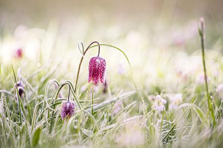 Der Fritillary ist eine Pflanze aus der Familie der Liliengewächse. Die Blume hat lila karierte Blütenblätter. Die Pflanze hat einen zarten Stängel mit schmalen Blättern, der einige Monate nach der Blüte stirbt. Es dauert acht Jahre, bis die Pflanzen blühen.