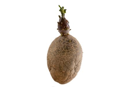 Old germinated potato isolated on white background. Big sprouts