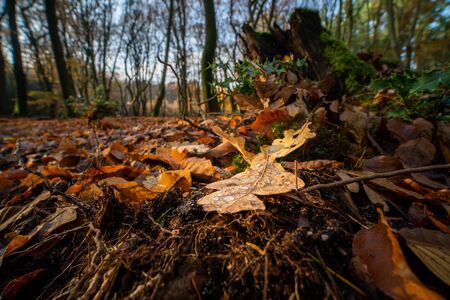 Discolored oak leaf at the end of autumn, lying on the ground of an autumn forest among the other colored leaves