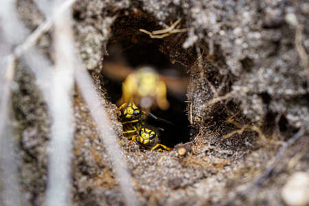 Macro, close up photo of wasp nest in natural surroundings at heathland in national park, sallandse Heuvelrug
