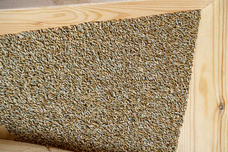 Wheat grains at mill storage. Close up. Good harvest of farmers, big pile of grain