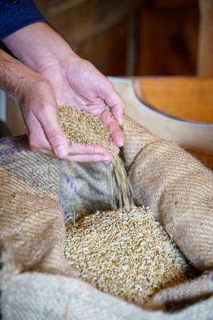 Wheat grains in hands at mill storage. Close up. Good harvest in the hands of farmers, big pile of grain