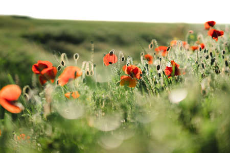 Flowers Red poppies blossom on wild field. Beautiful field red poppies with selective focus. Red poppies in soft light. Opium poppy. Natural drugs. Glade of red poppies. Lonely poppy. soft focus blur