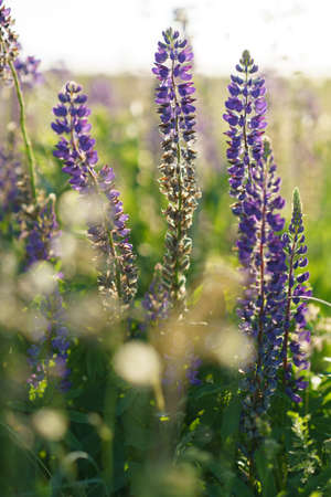 Purple lupines flowers in a field close-up, summer natural habitat background