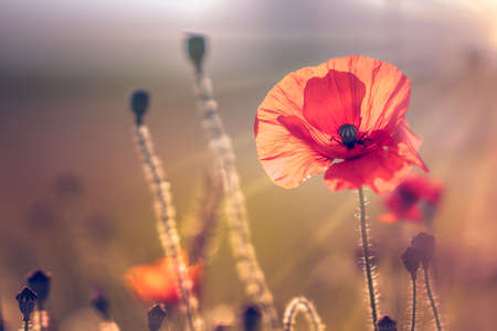 Beautiful red poppy flower close-up with control light of the golden hour sunset shining through petals in a wild poppies field on hot summer evening twilight. Nature landscape photo with copy space. 免版税图像