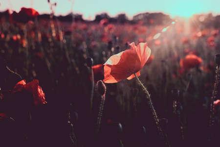 Red poppy blooming on field. Red poppy flowers in the oil seed rape fields. poppy flower. Great wallpaper design. Nature background. Beautiful summer landscape.