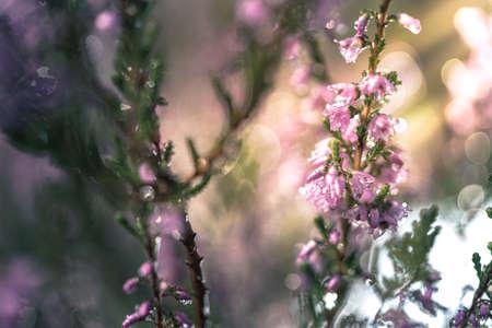 Purple pink common heather (Calluna vulgaris). Landscape plants heather. Colorful traditional October european flower. selective focus