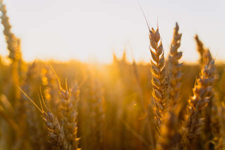 Sunset wheat golden field in the evening. Growth nature harvest. agricultural farm.