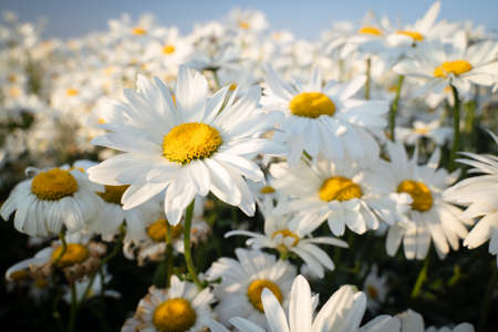 Beautiful chamomile flowers in meadow. Spring or summer nature scene with blooming daisy in sun light 免版税图像