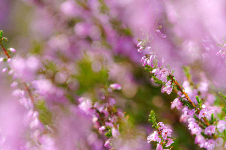 Beautiful blooming pink heather in a forest clearing at sunny day. Small lilac purple flowers on long stems. Flowering, gardening. Calluna vulgaris on green blurry background. Flower store concept.