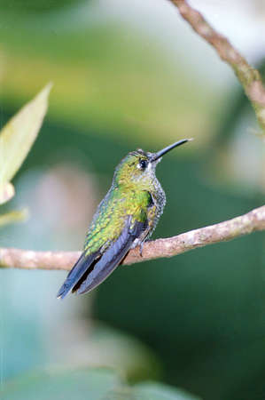 Humming bird sitting on an branch in a tropical forest in Costa Rica
