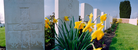 Daffodils on a graveyard from the first world war in Ypres