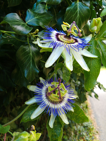 two blooming passion flowers with a green foliage background on the side of the road