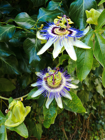 two blooming passion flowers with a green foliage background Фото со стока
