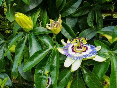 Blooming passion flower in different stades Фото со стока