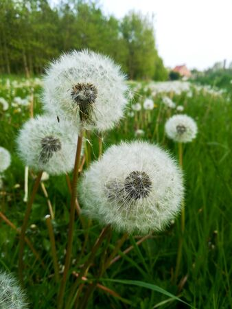 Closeup of pollen from a dandelion with grass and sky in the background in springtime Foto de archivo - 128297624