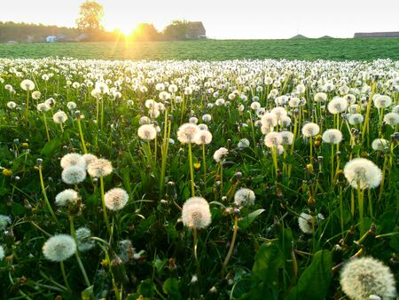 Backlit field of pollen from a dandelion with grass and sky in the background in springtime