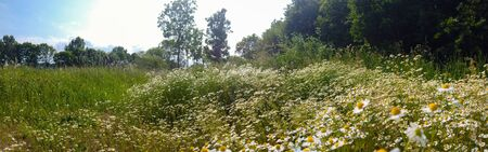 Panorama of a flowering field of Chamomile in a bright spring sunlight