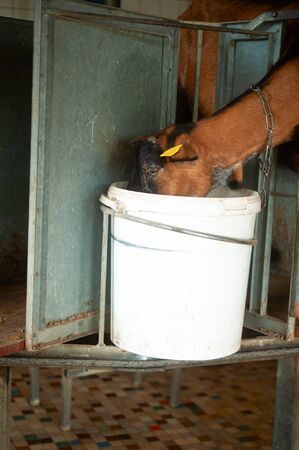 brown goat eating in a white bucket in a stable