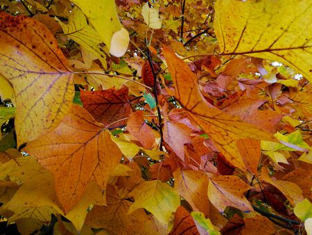 closeup of group of leaves in tree with autumn colours
