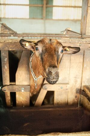 Brown goat watching the camera in stable