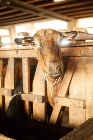 closeup of a brown goat watching the camera in stable