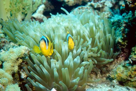 two yellow clownfishes in their anemone watching Фото со стока