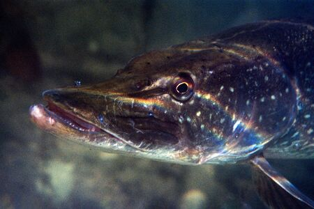 Closeup of a pike against a black background in fresh water with reflections of the sun on his head
