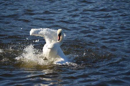 wasser: swan dance